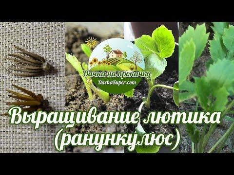 Как вырастить лютики (ранункулюс)