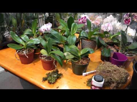 Когда ваша орхидея фаленопсис зацветёт снова?