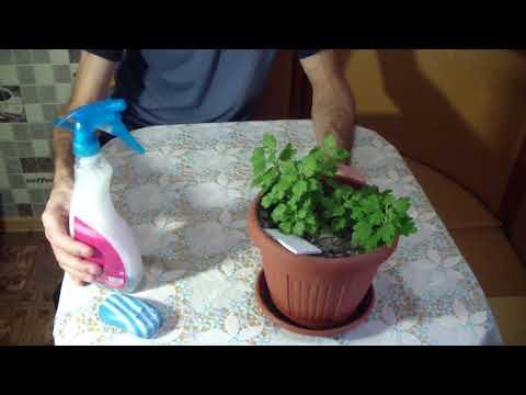 Хризантемы Хранение дома Борьба с ВРЕДИТЕЛЯМИ
