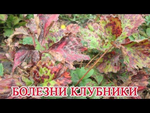 🍓Бурая пятнистость листьев клубники Болезни клубники Обработка листьев клубники от болезней