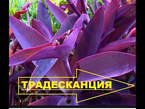 Традесканция фиолетовая пурпурная - уход, размножение черенкованием.