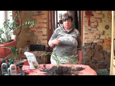 Панданус ( Винтовое Дерево). Прекрасное Неприхотливое Растение Для Дома и Офиса