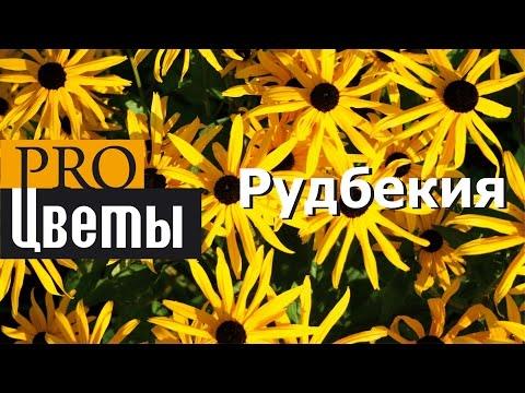 Рудбекия. Описание, выращивание, посадка и уход. Программа PRO Цветы (ПРО Цветы)