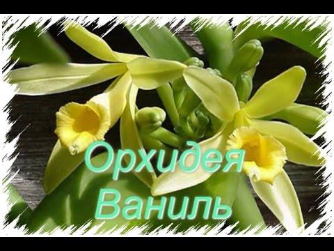 Vanilla orchid/ Орхидея Ваниль