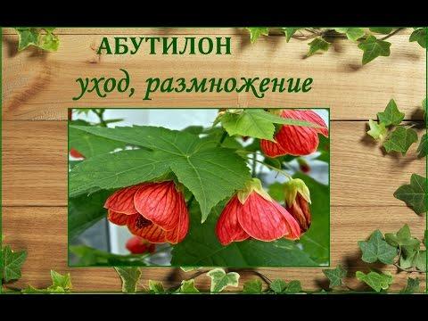 Абутилон (комнатный клен) - уход и размножение