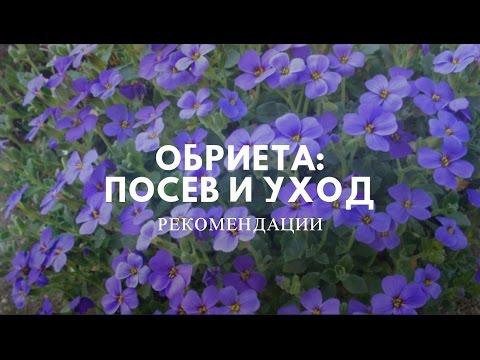 Цветы Обриета. Выращивание через рассаду.
