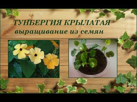 Тунбергия крылатая - выращивание из семян
