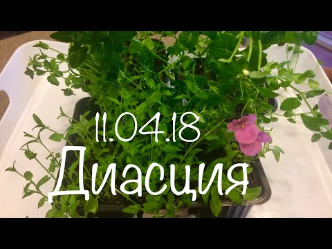Диасция 11.04.18 Пикировка и черенкование диасции