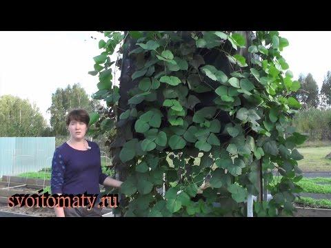 Гиацинтовые бобы: выращивание и уход