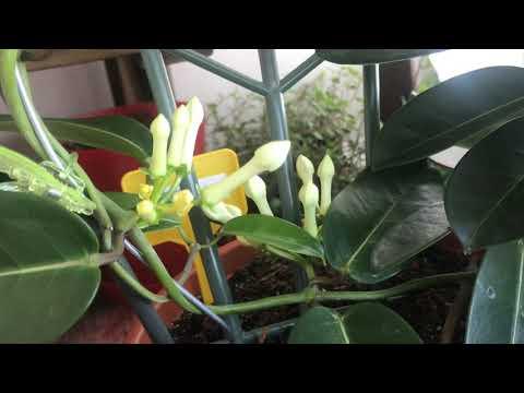 Стефанотис (Мадагаскарский жасмин) Мой уход за этим прекрасным цветком 🌺