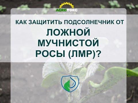 Ложная мучнистая роса на подсолнечнике - борьба протравителем семян Фаер