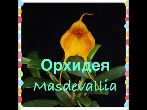 Орхидея Masdevallia