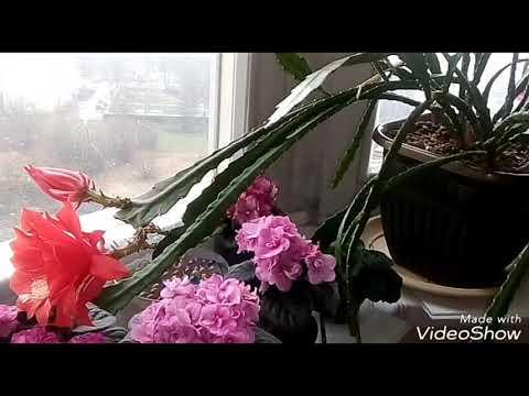 ЭПИФИЛЛУМ УХОД. Мой Опыт Новичкам! /ЦВЕТЕНИЕ ЭПИФИЛЛУМА!!!!