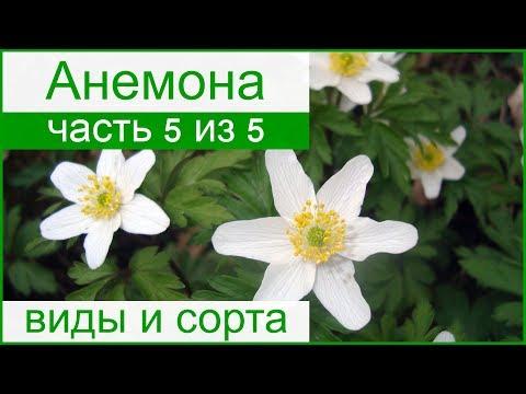 🌼 Виды и сорта анемон для сада
