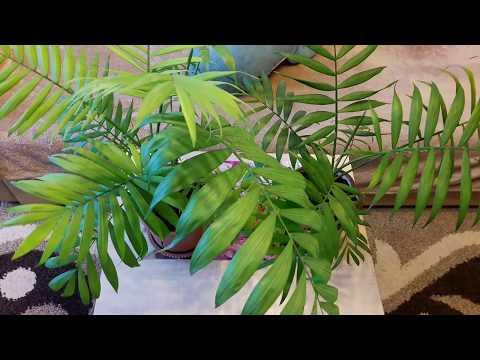 Комнатные растения: Хамедорея - уход и размножение. Как цветет хамедорея!?
