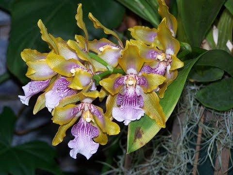 Орхидея Зигопеталум . Пересадка