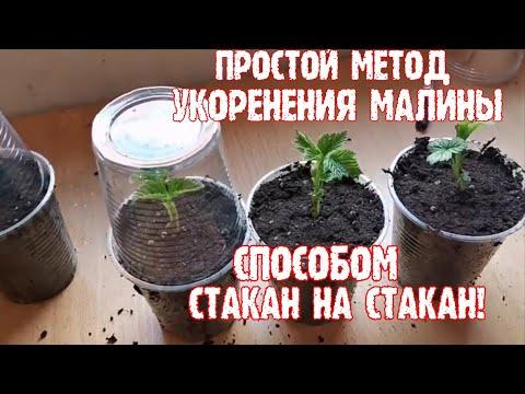 """""""Простейший способ укоренения малины"""", /Размножение малины ремонтантной/!"""