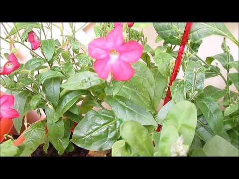 Цветы на балконе - Душистый табак - лучшая ловушка для тли