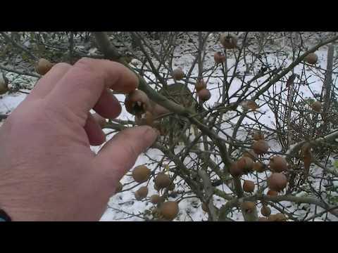 МУШМУЛА германская в Беларуси, собираем урожай.
