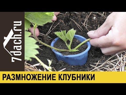 Размножение клубники (садовой земляники) усами - 7 дач