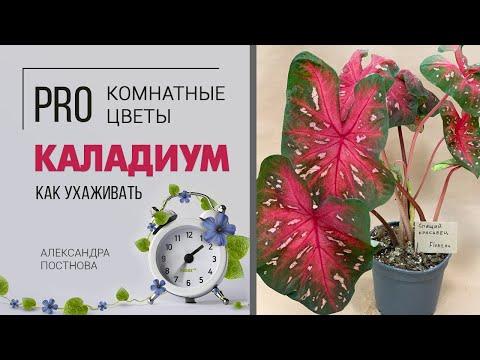 Каладиум - позволительная роскошь для каждого цветовода. Декоративнолиственный красавец.