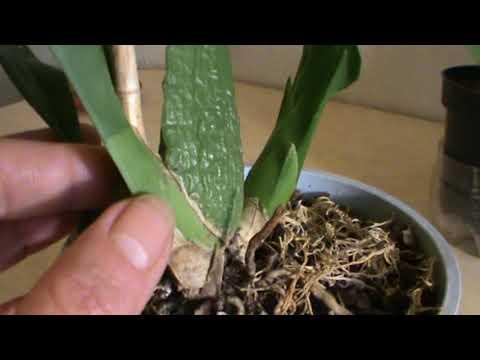 Орхидея Онцидиум. Правильный полив - главное условие для цветения.
