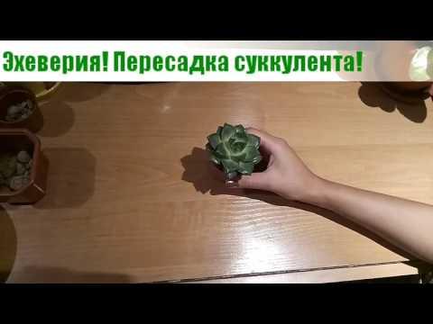 Эхеверия (эчеверия) или каменная роза. Пересадка суккулента из семейства толстянковых.