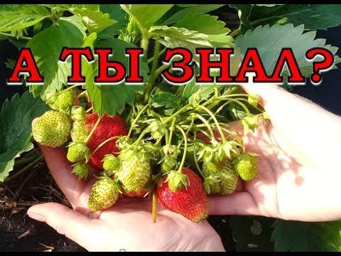 КЛУБНИКА. Уход, подкормка во время цветения и плодоношения