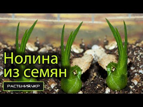 Как вырастить нолину из семян? / бутылочное дерево