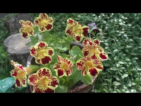 Цветет мой мимулюс (губастик) Чудо!