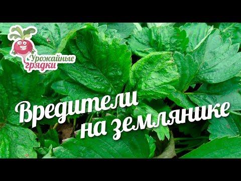 Вредители на землянике #urozhainye_gryadki