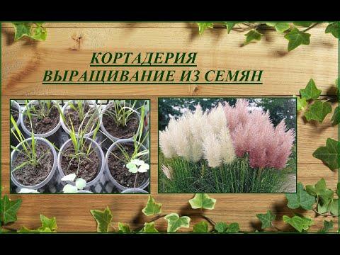 Кортадерия (пампасная трава) - выращивание от посева семян до цветения
