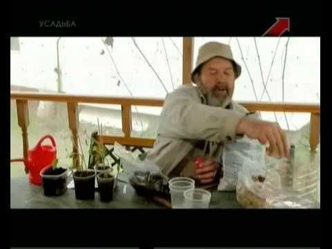Георгины посадка, выращивание, уход, виды растения