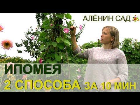 ИПОМЕЯ два способа выращивания за 10 минут / Огород в контейнерах