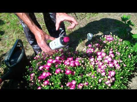 Хризантема мультифлора, подкормка во время цветения.
