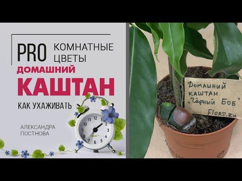 Каштан можно ли вырастить дома? Комнатное необычное растение на вашем подоконнике