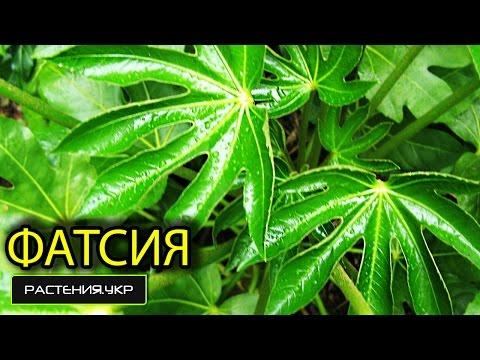 Аралия японская / Фатсия / японские комнатные растения