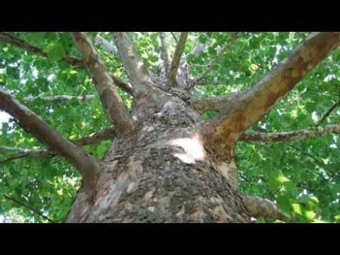 Платан(Чинар) - полный цикл, от семечка до ростка/Sycamore - full cycle, from seed to sprout