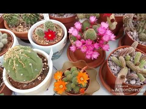 Кактусы-Ребуция Цветут безподобно 😍