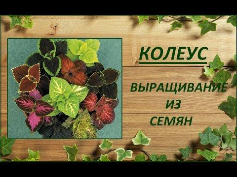 Колеус- выращивание из семян