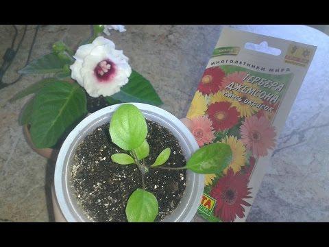 Гербера выращивание из семян Ч.2