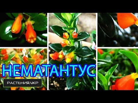 Нематантус / Золотая рыбка (Nematanthus)