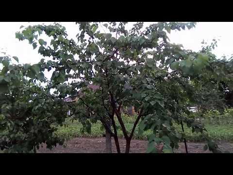 Три основные болезни абрикоса.