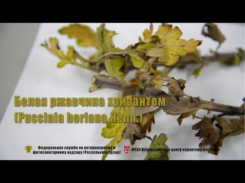Белая ржавчина хризантем (Puccinia horiana Henn.)