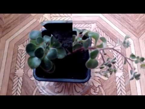Укоренение Аихризона. Комнатные цветы. Rooting of Aichrison. Indoor flowers.