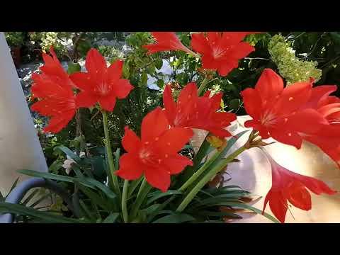Валота прекрасная в своём расцвете. Valota is beautiful