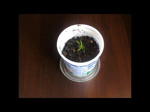 Выращиваем персик из косточки от А до Я. Часть 1-я. Как прорастить косточку персика.