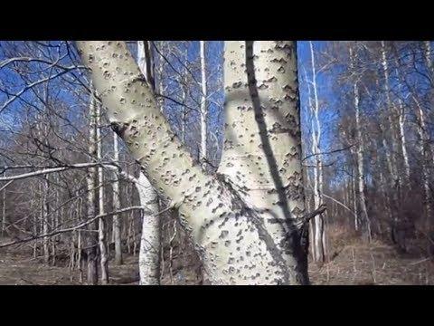 Осина. Полезные свойства коры осины.