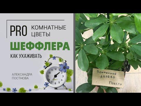 Шеффлера - комнатное растение для дома, о котором многие просили видео. Кто она на самом деле?