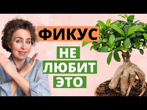 БОНСАЙ ФИКУС МИКРОКАРПА